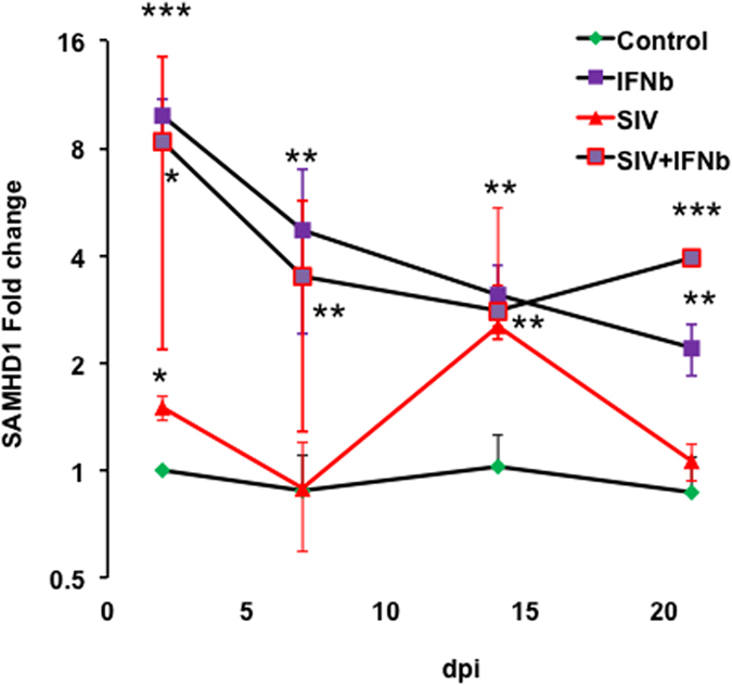 Primary astrocyte SAMHD1 responds to SIV infection and IFNB1. Quantitative PCR results, normalized to the average of beta actin and GAPDH, indicated that SIV infection (SIV 17E-Fr) and IFNB1 treatment of primary rhesus astrocytes resulted in significant upregulation of SAMHD1 by 48 hours post infection and at all subsequent time points examined. SIV infection alone stimulated apparently significant upregulation at two and 14 days post infection. ***p