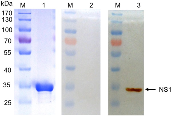 SDS-PAGE and Western blot analysis of purified recombinant NS1 protein expressed in E . coli . Lane M, molecular mass markers; lane 1, SDS-PAGE analysis of purified recombinant NS1 protein; Lane 2, the recombinant NS1 protein was analyzed by western blotting using SPF chicken serum for the negative control. Lane 3, western blotting of the purified recombinant NS1 protein, with chicken anti-AIV antibody and horseradish peroxidase <t>(HRP)-labeled</t> sheep anti-chicken <t>IgG</t> H+L as the first and second antibody, respectively. The arrowhead indicates the position of recombinant NS1 protein (approximate molecular mass of 30 kDa).