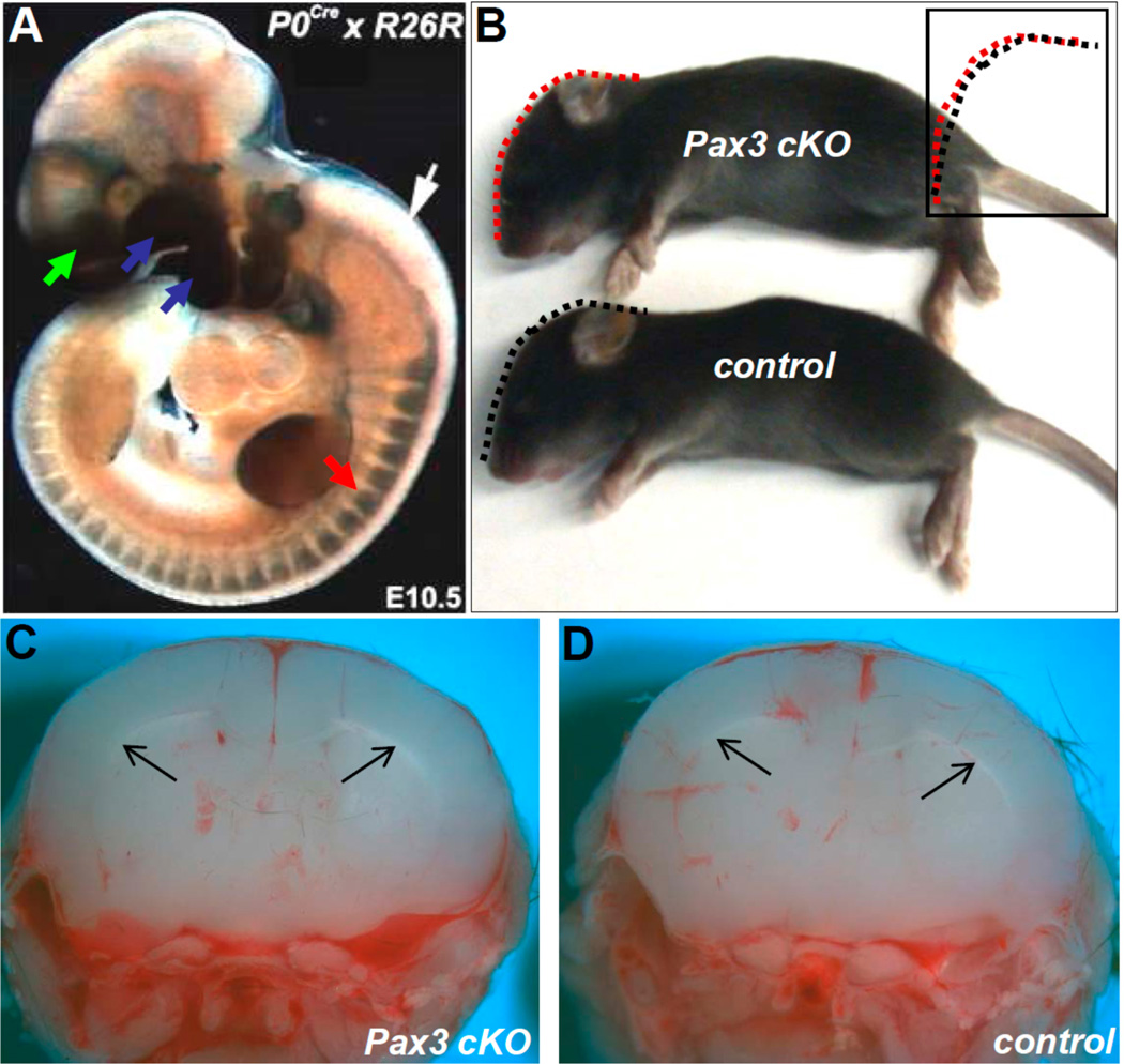 <t>Pax3</t> flox/flox /P0-Cre conditional knockout mice do not exhibit congenital hydrocephalus, indicating that restricted loss of Pax3 within the migratory neural crest is insufficient to cause defects. ( A ) P0-Cre/R26r lineage mapping in E10.5 control embryos reveals that the neural crest-colonized tissues, such as cranial-facial (green arrow), pharyngeal arches (blue arrows), and dorsal root ganglia (red arrow) are all positively labeled (blue staining). However, as P0-Cre is only expressed in neural crest derivatives after emigration from the neural tube, P0-Cre/R26r lineage mapping verified that the neural tube (white arrow), hindbrain, and brain are not labeled; ( B ) lateral view of P12 Pax3 flox/flox /P0-Cre (upper) and control (lower) littermates. Their lateral cranial profile is indistinguishable (indicated by dotted lines and compared side-by-side in insert). Also note normal pigmentation of Pax3 flox/flox /P0-Cre neonate: ( C,D ) coronal views of neonates in B , verifying Pax3 flox/flox /P0-Cre neonate lateral ventricles (arrows in C) are unaffected.