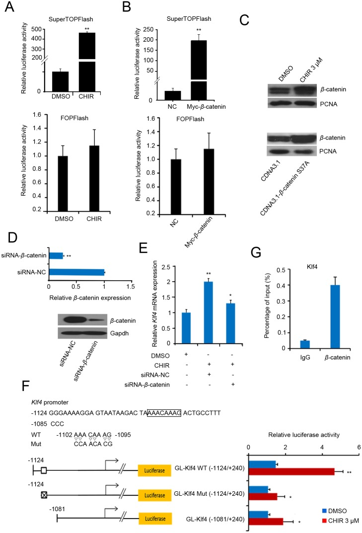CHIR regulates Klf4 expression by canonical Wnt pathway activation. (A) : TopFlash and FopFlash assay after CHIR treatment. J1 mESCs were transfected with pSuperTOPFlash reporter plasmids or the pTA-luc control plasmid. At 5 h after transfection, fresh medium was added and 3 μM CHIR or an equal volume of DMSO was added to the transfected cells. 24 h after transfection, luciferase activity was detected using the dual-luciferase reporter assay. (B) : TopFlash and FopFlash assay after overexpression of β -catenin. pCMV-Myc or pCMV-Myc- β -catenin was co-transfected with pSuperTOPFlash reporter plasmids or pTA-luc control plasmid into J1 mESCs, followed by 24 h of incubation. Luciferase activity is expressed relative to that of pTA-luc. Data are presented as the mean ± SD of three independent experiments. (C) : CHIR treatment or β -catenin overexpression promotes nuclear β -catenin expression. J1 mESCs were treated with 3 μM CHIR or equal volume of DMSO (upper panel), or transfected with pCDNA3.1- β -catenin s37a / pCDNA3.1 control plasmid (down panel) for 48 h, The nucleus protein were extracted and the expression of β -catenin was analyzed by western blot. Relative expression levels were compared with PCNA. (D) : β -catenin knockdown. Cells were transfected with siRNA- β -catenin or NC for 48 h, and RT-qPCR (upper panel) or western blot (lower panel) was used to detect the knockdown efficiency of β -catenin. (E) : Knockdown of β -catenin represses Klf4 expression. J1 mESCs were transfected with siRNA- β -catenin or siRNA-NC. At 5 h after transfection, fresh medium was added and 3 μM CHIR or an equal volume of DMSO was added to the transfected cells, followed by 48 h of incubation. Klf4 expression was validated by qPCR. Gapdh was used to normalize template levels. (F) : A novel cis element in the Klf4 gene was activated by β -catenin. The cis-element (WT) and its mutational type (Mut) are shown in the upper panel. A schematic representation of the promoter structure of