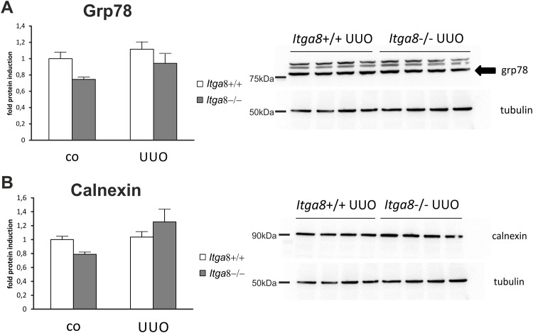 Markers of endoplasmic reticulum stress in the renal cortex. Western blot analysis of A, grp-78 and B, calnexin in the renal cortex of wild type and Itga8 -/- mice after induction of unilateral ureter obstruction (UUO). Exemplary western blots are shown from the UUO groups. Itga8 +/+, wild type mice; Itga8 -/-, Itga8 -deficient mice. Data are means±SEM.
