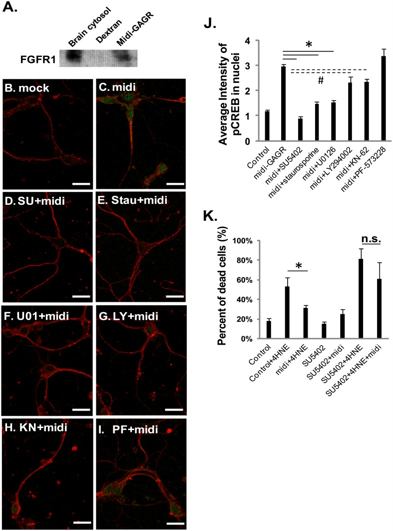 Midi-GAGR binds to FGFR1 and uses FGFR1 signaling pathway to activate CREB and protect neurons from the death caused by oxidative insult. (A) Midi-GAGR- or dextran-conjugated epoxy sepharose beads were mixed with synaptosomal plasma membrane proteins in 0.5% Igepal CA-630 PMEE buffer to pull down midi-GAGR-interacting FGFR1. Precipitated FGFR1 was detected by immunoblotting (n = 2, four rat brains). (B-J) Mouse cortical neurons (DIV4) were pre-treated with H 2 O (vehicle, B,C) or the inhibitors of FGFR1 (SU5402 [SU], 4 μM, D), PKC (staurosporine [Stau], 3 nM, E), MEK (U0126 [U01], 10 μM, F), PI3K (LY294002 [LY], 20 μM, G), CaMKII (KN-62 [KN], 10 μM, H), or PF-573228 (PF, 1 μM, I) for 6 h and then with mock (B) or 1 μM midi-GAGR (+midi, C-I) for 48 h. Neurons were then immunostained with the antibodies to α-tubulin (red) and p-CREB (green). Scale bar = 100 μm. (J) Bar graphs show the average intensities of pCREB after different treatments (n = 60 neurons, mean ± SEM). *, p