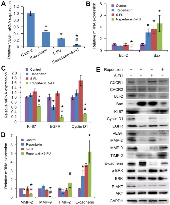 Effects of repertaxin and repertaxin combined with 5-FU on cell proliferation, cell cycle, cell apoptosis, cell migration and invasion-related signaling molecules in the MKN45 cells. MKN45 cells were treated with repertaxin (25 μg/ml) alone, 5-FU (10 μg/ml) alone, or combined repertaxin and 5-FU for 48 h. (A) angiogenesis (VEGF), (B) apoptosis (Bcl-2 and Bax), (C) proliferation and growth (cyclin D1, EGFR and Ki-67), (D) invasion and metastasis (MMP-9, MMP-2, TIMP-2 and E-cadherin). mRNA expression was determined by real-time RT-PCR. GAPDH was used as an internal control. (E) Cell lysates (50 μg) were fractionated by SDS-PAGE and subject to western blot analysis; GAPDH was used as a loading control. Data are shown as mean ± SD. * P
