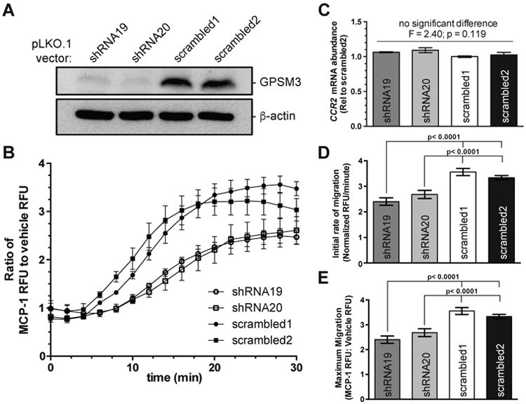 Lentiviral-mediated shRNA knockdown of endogenous GPSM3 expression in the human monocytic THP-1 cell line disrupts migration toward MCP-1 ( A ) Western blot showing whole lysate (40 μg) immunoreactivity with mouse monoclonal anti-GPSM3 antibody 35.5.1 (ref. 47 ) and with anti-β-actin as a loading control. ( B ) Real-time Transwell migration analysis of indicated calcein-AM stained THP-1 cell lines as shown by change in the ratio of MCP-1-induced to vehicle-induced relative fluorescence units (RFU) over a 30 minute timeframe. ( C ) qRT-PCR data from indicated stable knockdown or scrambled control THP-1 cell line total RNA preparations. There was no significant difference in CCR2 mRNA abundance in the THP-1 cell lines as determined by one-way ANOVA (F = 2.40; p = 0.119). ( D ) Regression analysis-derived rate of THP-1 cell line transmigration over initial migratory period; differences between each cell line was calculated by one-way ANOVA. ( E ) Regression analysis-derived maximum THP-1 cell transmigration over 30 minute timecourese; differences between each cell line were calculated by one-way ANOVA. All data are reported as means with error bars representing S.E.M.