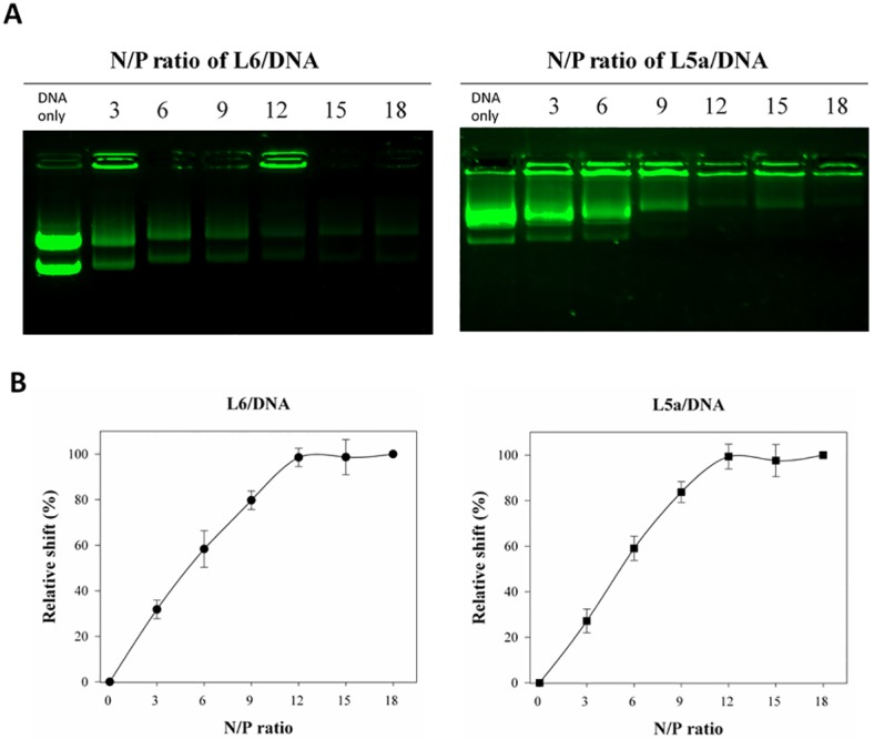 Noncovalent interactions between CPPs and plasmid DNA in vitro . (A) Gel retardation assay indicating the formation of CPP/DNA complexes. Various amounts of L6 or L5a were mixed with DNA at molecular N/P ratios of 0 (DNA only), 3, 6, 9, 12, 15, and 18. These complexes were analyzed by electrophoresis on a 0.5% agarose gel, followed by SYBR Safe staining. DNA images were captured using a <t>ChemiDoc</t> <t>XRS+</t> Gel Imaging System (Bio-Rad). (B) The relative mobility of CPP/DNA complexes. The mobility of CPP/DNA complexes is indicated. Data are presented as mean ± SD from five independent experiments in each treatment group.