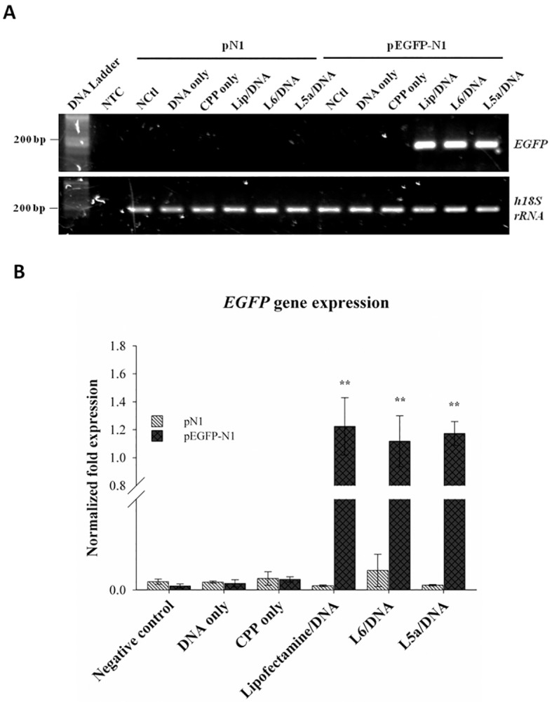 Real-time <t>PCR</t> analysis of cellular delivery of reporter gene plasmid mediated by L6 and L5a. (A) Final RT-PCR products of EGFP and 18S rRNA genes from the cells after uptake of the peptide/DNA complexes. Cells were not treated (negative control, NCtl) or were treated with DNA alone, CPP alone, Lipofectamine 2000/DNA (Lip/DNA) or CPP/DNA complexes for 24 h. Real-time PCR for the detection of EGFP gene expression was conducted using a Bio-Rad <t>iQ5</t> Real-Time PCR Detection System. Human 18S rRNA gene expression was analyzed as an internal control. Negative control (NTC) represents real-time PCR signal in the absence of a DNA template. (B) Real-time PCR analysis of EGFP gene expression. EGFP gene expression recorded in panel A was normalized to 18S rRNA expression. Statistical comparisons were performed by ANOVA. Data are presented as mean ± SD from three independent experiments in each treatment group. Significant differences from cells without any treatments (negative control) at P