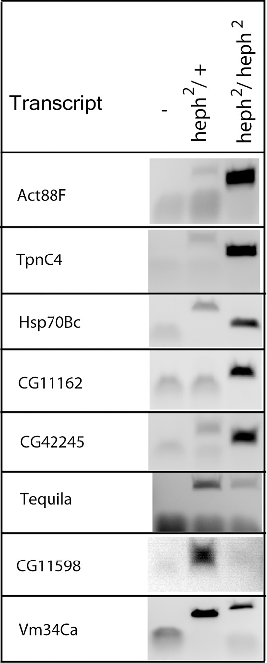 <t>RT-PCR</t> analysis reveals differentially expressed transcripts. RNA from the wild type control and the <t>heph</t> 2 mutant was analyzed by RT-PCR analysis. Gene-specific primer pairs were used for amplification of several randomly picked genes that showed significant differential expression. For Tequila , primer pairs were designed to test alternative 5' ends (transcription start site usage).
