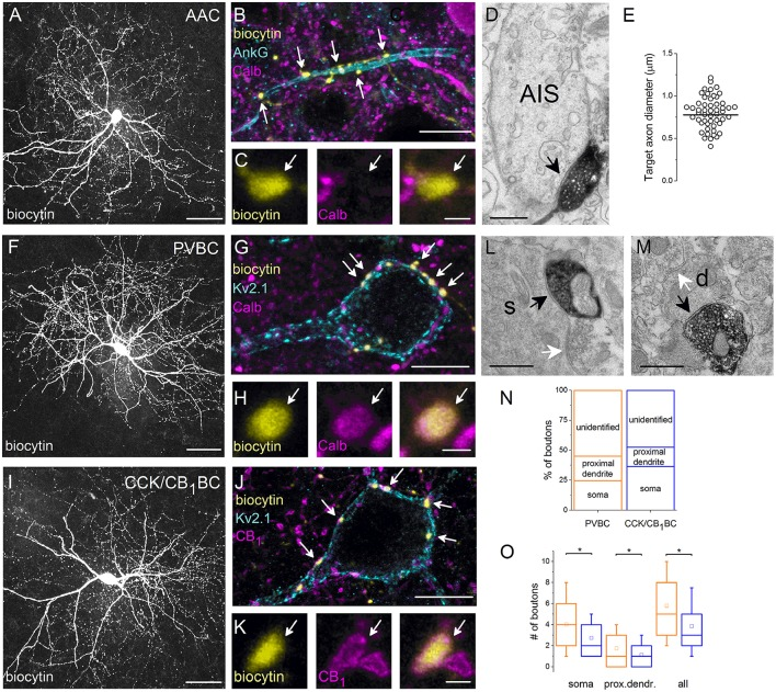 Neurochemical content and postsynaptic targets of interneurons innervating the perisomatic region of principal cells in the BLA . Maximum z intensity projection images taken of an in vitro biocytin-filled AAC (A) , PVBC (F) , or CCK/CB 1 BC (I) . (B) Varicosities of the AAC in (A) contact with an AIS visualized by ankyrin G staining and lack Calb immunoreactivity (C) . (D) A biocytin-filled bouton of an AAC forms a symmetrical synapse on an AIS. (E) Distribution of target axon diameters obtained by random sampling (55 boutons from 7 AACs). Black lines represent the mean value. (G) The biocytin-containing boutons of the same cell as in (F) form close contacts with the Kv2.1-labeled perisomatic region of a PC and express Calb (H) . (J) The boutons of the interneuron in (I) form close appositions with the Kv2.1-immunostained membranes of a PC and express CB 1 (K) . (L, M) Electron micrographs show biocytin-labeled axon terminals of a PVBC forming symmetrical synapses on a soma (s) or a small caliber dendrite (d; black arrows). The same postsynaptic elements also received symmetrical synapses from unlabeled axon endings (white arrows). (N) Ratio of boutons of PVBCs ( n = 12) and CCK/CB 1 BCs ( n = 12) forming close contacts with Kv2.1-immunostained somata, proximal dendrites, or which did not appose any Kv2.1-immunostained profiles (unidentified). Note, that the high ratio of boutons contacting the perisomatic region of PCs defines the cells as BCs. (O) A larger number of boutons from PVBCs (orange) than from CCK/CB 1 BCs (blue) contact the perisomatic region of individual PCs. Asterisks mark significant differences (for values see the text). The mean (small open square), the median (midline of the box), the interquartile range (box), and the 5/95% values (ends of whisker bars) are plotted. AAC, axo-axonic cell; PVBC, parvalbumin-containing basket cell; CCK/CB 1 BC, cholecystokinin and CB 1 cannabinoid receptor-expressing basket cell. Scale bars, 50 μm in (A,F,I) , 10 μ