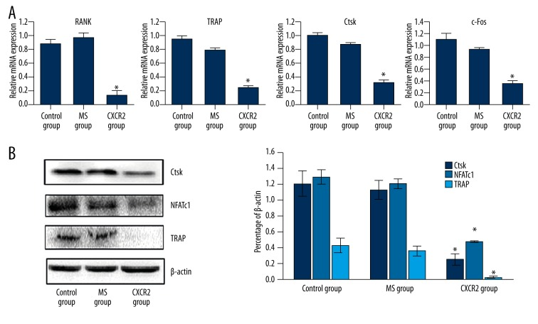 Adenovirus-mediated CXCR2 siRNA inhibited RANKL-induced osteoclast-specific gene and protein expression in vitro . ( A ) The mRNA expression of RANK , TRAP , CtsK , and c-Fos was significantly decreased in the CXCR2 group compared with the MS and control groups. ( B ) Western blotting revealed that TRAP, CtsK, and NFATc1 levels were decreased in the CXCR2 group. There were no other significant differences between the MS and control groups. All experiments were performed at least 3 times. * P
