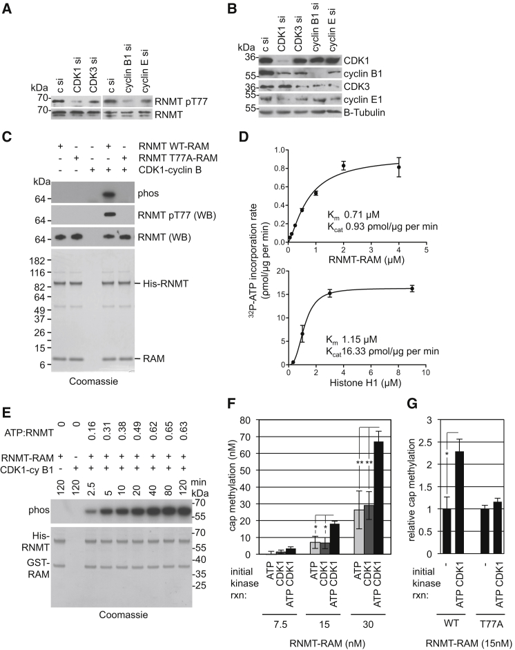 CDK1-Cyclin B1 Phosphorylates and Activates RNMT HeLa cells were transfected with CDK1, CDK3, cyclin B1, and cyclin E1 siRNA. (A and B) After 48 hr, (A) pT77 and total RNMT levels were analyzed in RNMT immunoprecipitates, and (B) CDK and cyclin levels were analyzed in cell extracts by WB. c, control. (C) Recombinant His-RNMT (WT or T77A)-GST-RAM was incubated with activated CDK1-cyclin B1 and 32 P-ATP for 60 min and resolved by SDS-PAGE. Labeled bands were visualized by phosphoimaging. pT77 and total RNMT were visualized by WB and Coomassie stain. (D) To assess enzyme kinetics, the CDK1-cyclin B1 kinase reaction was performed using a titration of RNMT or histone H1 over a time course ( Figure S1 ). The charts depict reaction velocities for phosphorylation of RNMT-RAM or histone H1. Error bars represent SD for reaction velocity at each substrate concentration. k cat and K M values were calculated using an allosteric sigmoidal curve fit. (E) As in (C), except a time course experiment was performed. Quantitation of the ATP:RNMT incorporation ratio is reported above. (F) His-RNMT-GST-RAM was incubated with activated CDK1-cyclin B1 and ATP for 10 min as in (E) and then utilized in the cap methyltransferase assay. rxn, reaction. (G) His-RNMT WT or 77A-GST-RAM were incubated in the presence and absence of ATP and CDK1-cyclin B1 for 10 min as above and then utilized in the cap methyltransferase assay. Average and SD for three independent experiments is depicted. ∗ p