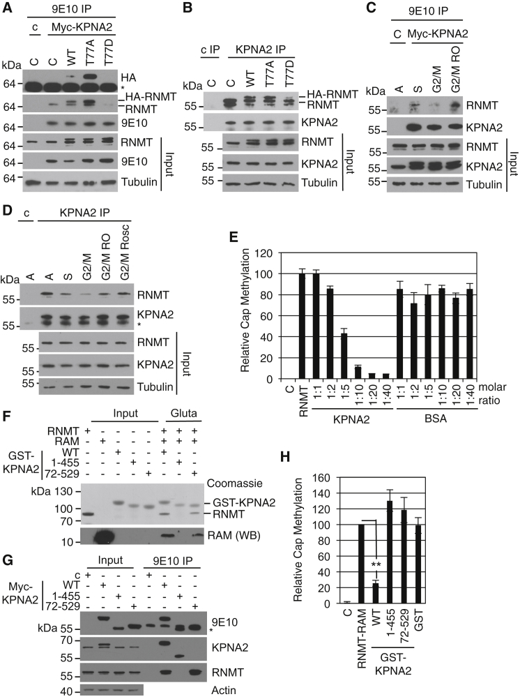 RNMT Phosphorylation Reduces Inhibition by KPNA2 (A) HeLa cells expressing HA-RNMT WT, T77A, T77D, or vector control (C) were transfected with pcDNA5 Myc-KPNA2 or vector control (C). 9E10 antibody was used to immunoprecipitate Myc-KPNA2, and WBs were performed to detect HA-RNMT, RNMT, and Myc-KPNA2. (B) KPNA2 IP was performed on HeLa cells expressing HA-RNMT WT, T77A, T77D, or a vector control using anti-KPNA2 antibody, and KPNA2 and RNMT were detected by WB. (C) HeLa cells were transfected with pcDNA5 Myc-KPNA2. Cells were released from double thymidine block for 2 hr (S) or 8 hr (G2/M), including incubation with 9 μM RO-3306 for 15 min (G2/M RO). Asynchronous cells transfected with the vector control were used as a control. 9E10 antibody was used to immunoprecipitate Myc-KPNA2, and WBs were performed to detect RNMT and KPNA2. (D) HeLa cells were treated as in (C), except that G2/M cells were also treated with 50 μM roscovitine (G2/M Rosc) for 15 min. Anti-KPNA2 antibodies were used to immunoprecipitate KPNA2 from cell extracts using anti-Tubulin antibodies as a control. WBs were performed to detect KPNA2, RNMT, and Tubulin in extracts and immunoprecipitates. (E) A cap methyltransferase assay was performed using 40 nM recombinant RNMT and titration of recombinant KPNA2 or BSA. Activity is reported relative to the RNMT control. (F) Recombinant RNMT and RAM were incubated with recombinant GST-KPNA2 WT, 1–455, 72–529, or GST alone, and complexes were affinity-purified with glutathione-Sepharose. Inputs and eluates were resolved by SDS-PAGE and Coomassie blue-stained, and RAM was detected by WB. (G) HeLa cells were transfected with pcDNA5 Myc-KPNA2 WT, 1–455, 72–529, or vector control (C). 9E10 antibody was used to immunoprecipitate Myc-KPNA2, and WB was performed to detect Myc-KPNA2, KPNA2, RNMT, and Tubulin. (Note that the KPNA2 antibody raised against the N terminus does not recognize KPNA2 72–529.) (H) A cap methyltransferase assay was performed using recombinant R