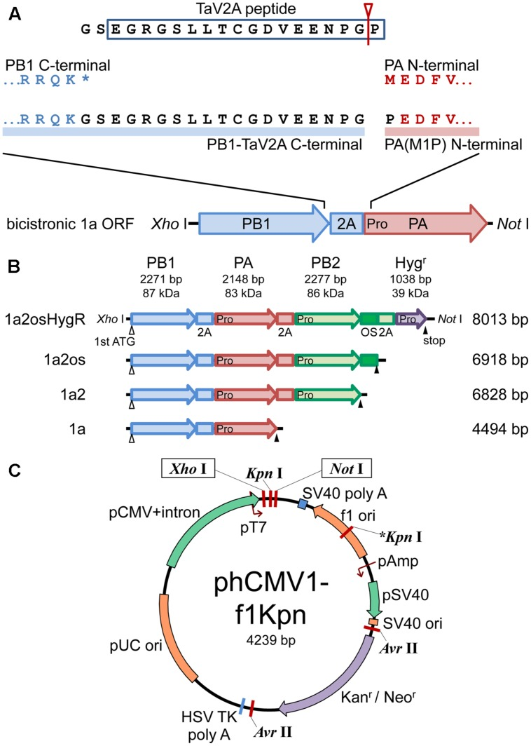 """Schematic representations of polycistronic RdRp expression vectors. (A) Concatenation of CDSs of RdRp subunits with TaV2A self-processing sequence. The bicistronic PB1-PA ORF is shown as an example. The stop codon ( ∗ ) of the upstream CDS was removed and GS linker-TaV2A peptide CDS was added to the end. Since TaV2A peptide was separated at the Gly-Pro present at the end of the peptide (an arrowhead with a line), the downstream subunit has an additional proline residue at the N-terminal end. Consequently, the original first ATG/methionine codon of the downstream CDS was replaced by proline (M1P substitution, indicated as """"Pro"""" in the PA CDS). (B) CDS order of bi-, tri-, and tetra-cistronic ORFs. PB2, PB1, PA, and the hygromycin B phosphotransferase CDSs (abbreviated as 2, 1, a, and HygR, respectively) were concatenated in-frame with TaV2A peptide (2A) and/or One-STrEP/Twin-strep affinity tag (OS) CDSs ( Schmidt et al., 2013 ). The start and end of each ORF are indicated by open (first ATG) and closed (stop) triangles, respectively. TaV2A peptide-derived proline codons/residues are indicated with """"Pro"""" at the beginning of each downstream CDS. The names (left side) and lengths of ORFs (right side) are indicated. (C) Plasmid map of phCMV1-f1Kpn, a derivative of phCMV1. Additional Kpn I site (indicated as ∗ Kpn I) was created in the f1 ori region. The ORFs exemplified in (B) were inserted between unique Xho I and Not I sites of phCMV1 or phCMV1-f1Kpn and were transcribed to mRNA under the control of CMV promoter (pCMV). The original phCMV1 vector was routinely used for protein expression. The phCMV1-f1Kpn vector was for establishing stable cell lines expressing RdRp."""