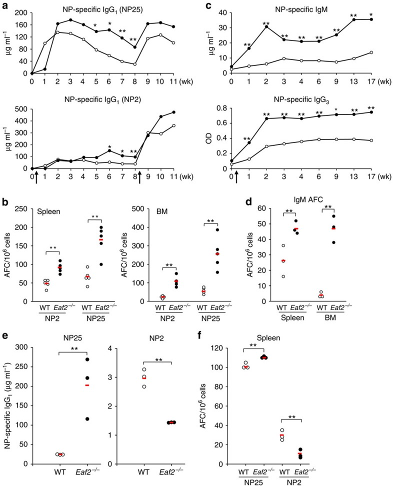 Increased NP-specific Ab in immunized Eaf2 −/− mice. ( a ) Five pairs of WT and Eaf2 −/− mice were immunized with 10 μg of NP–CGG in alum. Serum levels of NP-specific IgG 1 Ab were measured with NP25-BSA (upper) and NP2-BSA (lower) at the indicated time points as described in Methods section. ( b ) AFC in spleen (left) and BM (right) at 6 weeks after NP–CGG immunization. NP2 and NP25 detect high affinity and total NP-specific AFC, respectively. ( c ) NP-specific IgM (upper) and IgG 3 (lower) serum Ab levels after immunization with NP-Ficoll. The results of five pairs of WT and Eaf2 −/− mice are shown. ( d ) NP-specific IgM AFC in the spleen and BM at 21 weeks after NP-Ficoll immunization. Three pairs of WT and Eaf2 −/− mice were analysed. ( e ) and ( f ), Rag1 −/− mice reconstituted with WT T+WT B or WT T+ Eaf2 −/− B cells were immunized with NP–CGG and analysed for ( e ) NP-specific total IgG 1 Ab (NP25) and high-affinity IgG 1 Ab (NP2) in the serum and ( f ) AFC in the spleen. Open circles, Rag1 −/− mice reconstituted with WT T+WT B cells; Solid circles, Rag1 −/− mice reconstituted with WT T+ Eaf2 −/− B cells. Arrows in a and c indicate immunization times. The red bar indicates the mean value of each group. * P