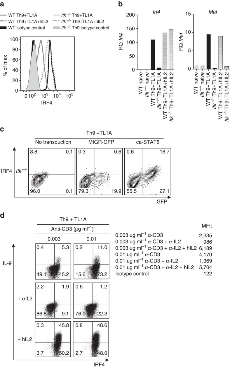 IL-2 rescues IRF4 expression in Itk −/− CD4 T cells. ( a ) Sorted naive CD4 + T cells differentiated for 3 days under Th9 plus TL1A in absence or presence of blocking anti-IL-2 plus hIL-2, were stained for IRF4 and analysed by flow cytometry. ( b ) mRNA of Irf4 and Maf in cells differentiated as in a evaluated by qRT-PCR. ( c ) Itk-deficient CD4 + T cells were transduced with constitutively active STAT5 (ca-STAT5) or control retroviruses, differentiated under Th9 plus TL1A conditions and intracellular IRF4 determined. ( d ) Sorted naive WT CD4 + T cells were differentiated under Th9 plus TL1A with 0.003 or 0.01 μg ml −1 of anti-CD3, in absence or presence of blocking anti-IL-2 or blocking anti-IL-2 plus hIL-2, then restimulated with PMA and Ionomycin and IL-9 and IRF4 production were analysed by intracellular staining, MFI values for IRF4 are indicated. Data in figures a - d are representative examples from one of at least three independent experiments.