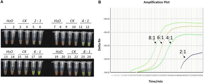 Optimization of ratios of inner vs. outer primers for the LAMP reaction of the bar transgene. (A) LAMP products detected by 1000 × SYBR Green I. (B) The amplification curves obtained in real-time LAMP based on different ratios of inner and outer primers. (A) Tubes 1, 2, 7, 8, 13, 14, 19, and 20: ddH 2 O. Tubes 3, 4, 9, 10, 15, 16, 21, and 22: FN95-1702 (negative control, CK). Tubes 5, 6, 11, 12, 17, 18, 23, and 24: the plasmid 1Ac0229. Tubes 1–6, 7–12, 13–18, and 19–24: Ratio of inner and outer primers is 2:1, 4: 1, 6: 1, and 8:1, respectively, two technical replicates. (B) Curves separately represent the ratios of inner and outer primers of 8:1, 6: 1, 4: 1, and 2:1, from left to right. The lines representing the blank and negative controls could not be observed at the bottom of this graph.
