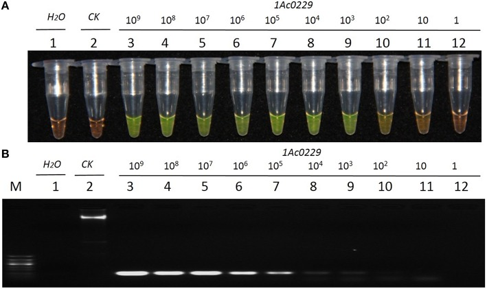 Sensitivity comparison of the LAMP assay and conventional PCR using the plasmid 1Ac0229 as templates. (A) LAMP products detected by 1000 × SYBR Green I. (B) PCR products detected by agarose gel electrophoresis stained by EB. Tube and lane 1: ddH 2 O. Tube and lane 2: FN95-1702 (negative control, CK). Tubes and lanes 3–12: plasmid 1Ac0229 copies of 1.0 × 10 9 , 1.0 × 10 8 , 1.0 × 10 7 , 1.0 × 10 6 , 1.0 × 10 5 , 1.0 × 10 4 , 1.0 × 10 3 , 1.0 × 10 2 , 1.0 × 10 1 , and 1.0 × 10 0 , respectively. Lane M: 50 bp DNA marker.