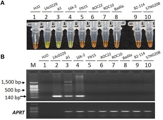 Specificity comparison of the LAMP assay and conventional PCR. (A) LAMP products detected by 1000 × <t>SYBR</t> Green I. (B) PCR products detected by agarose gel electrophoresis stained by EB. Tube and lane 1: ddH 2 O. Tube and lane 2: the plasmid 1Ac0229 (positive control). Tubes and lanes 3–10: genomic DNA from sugarcane genotypes of a1 ( bar transgenic line from host cultivar FN15), 16k-2 ( bar transgenic line from host cultivar ROC22), FN15 ( S . spp. hybrids), ROC22 ( S . spp. hybrids), ROC10 ( S . spp. hybrids), Badila ( S. officinarum ), 82-114 ( S. spontaneum ), 57NG208 ( S. robustum ), respectively. Lane M: 100 bp DNA.