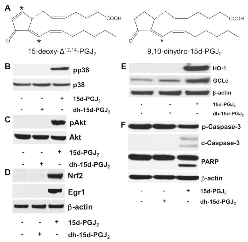 The chemical structure of (dh-)15d-PGJ 2 and possible activation cascades. (A) The chemical structure of 15d-PGJ 2 and dh-15d-PGJ 2 (9,10-dihydro-15d-PGJ 2 , * indicates electrophilic carbon atom). (B–F) MG-63 cells were stimulated with dh-15d-PGJ 2 (20 μM) or 15d-PGJ 2 (20 μM, used as a positive control) for (B) 15 min to follow phosphorylation of p38 MAPK, (C) 1 h to follow phosphorylation of Akt, (D) 6 h to follow Nrf2 and Egr1 expression, (E) 6 h to follow HO-1 and GCLc expression or (F) 24 h to follow cleavage of pro-caspase and PARP. For Western blot analysis total protein lysates were subjected to SDS–PAGE. (B) Total p38 MAPK, (C) total Akt, and (D–F) β-actin were used as loading controls. One representative blot out of two is shown. Pro-caspase-3 (p-Caspase-3, molecular mass: 35 kDa); cleaved caspase-3 (c-Caspase-3; molecular mass: 19 and 17 kDa). Poly (ADP-ribose) polymerase (PARP; molecular mass: 116 kDa; cleaved PARP; molecular mass: 89 kDa). As membranes for Nrf2/Egr1 (D) were stripped and reprobed with anti-HO-1/-GCLc antibodies (E), the same β-actin blot is shown.