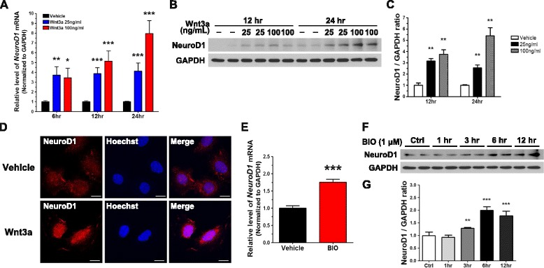 Wnt3a increases the expression of NeuroD1 by activating Wnt/β-catenin signaling in N39 cells. a NeuroD1 mRNA levels were quantified using qRT-PCR after vehicle or Wnt3a (25 or 100 ng/mL) treatment for 6, 12, and 24 h ( n = 23). b NeuroD1 protein levels were measured by immunoblot assay after vehicle or Wnt3a (20 or 100 ng/mL) treatment for 12 and 24 h. c The intensity of bands shown in ( b ) was quantified by using ImageJ with normalization to GAPDH ( n = 6). d After treatment with vehicle or Wnt3a (100 ng/mL) for 24 h, NeuroD1 was examined using the immunofluorescence assay; the nuclei were stained with Hoechst 33342 dye. Scale bar, 20 μm. e The level of NeuroD1 mRNA was determined by qRT-PCR 12 h after treatment with 1 μM BIO ( n = 9). f Cells were treated with 1 μM BIO, and the level of NeuroD1 was measured by immunoblot assay after treatment for 1, 3, 6, and 12 h. g The intensity of NeuroD1 bands in ( f ) was quantified using the ImageJ software and normalized to GAPDH ( n = 6). Data are means + SEM. * p