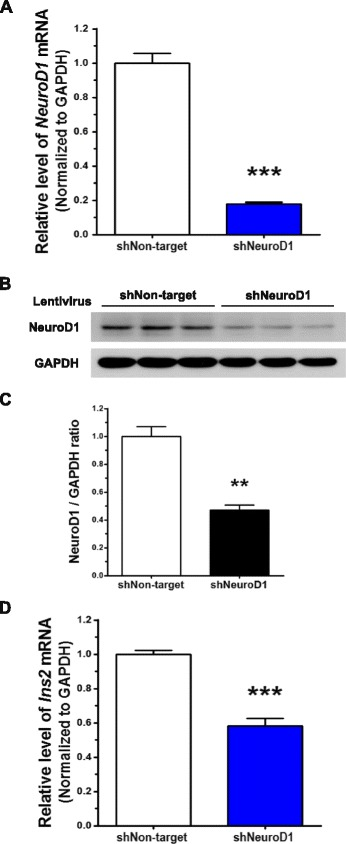 Knockdown of NeuroD1 reduces the expression of Ins2 . NeuroD1 was knocked down by infecting N39 cells with lentivirus containing shRNA (shNeuroD1) for 72 h. a Knockdown efficiency was determined by examining the levels of NeuroD1 mRNA using qRT-PCR ( n = 23). b The level of NeuroD1 protein was assessed by immunoblot assay, and c the intensity of NeuroD1 bands was quantified using the ImageJ software with normalization to GAPDH ( n = 6). d The basal expression of Ins2 was determined by qRT-PCR after infection with shRNA lentivirus against NeuroD1 for 72 h ( n = 12). Data are means + SEM. ** p