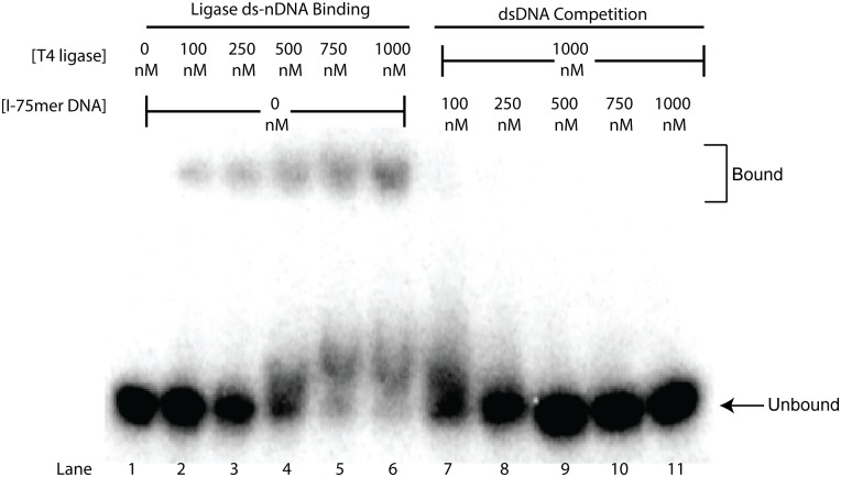 Competition for ds-nDNA-Binding by dsDNA. Lane one contains 4 nM of the 75mer-ds-nDNA substrate alone, lanes 2–6 show shifting of the 4 nM substrate into a completely bound state as the concentration of T4 DNA ligase is increased from 100 nM– 1000 nM. Lanes 7–11 are of a titration of increasing concentrations of the unlabeled I-75-dsDNA oligo into a reaction containing 4 nM labeled nicked substrate and 1000 nM T4 DNA ligase. EMSA reactions were all performed and electrophoresed at room temperature (22°C).