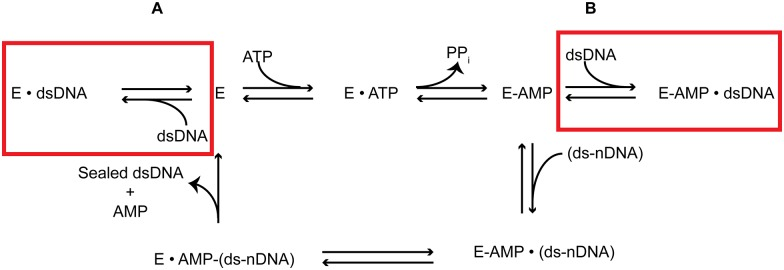 T4 DNA Ligase Reaction Model. Modified reaction pathway to include the newly observed reactions in the previously described DNA ligation pathway that are inhibited by the presence of non-nicked dsDNA.  A . Non-nicked dsDNA can bind to the deadenylylated form of the enzyme inhibition formation of the adenylylated form of the enzyme.  B . Non-nicked dsDNA binds to the Lig-AMP form, preventing complexation with its preferred ds-nDNA substrate.
