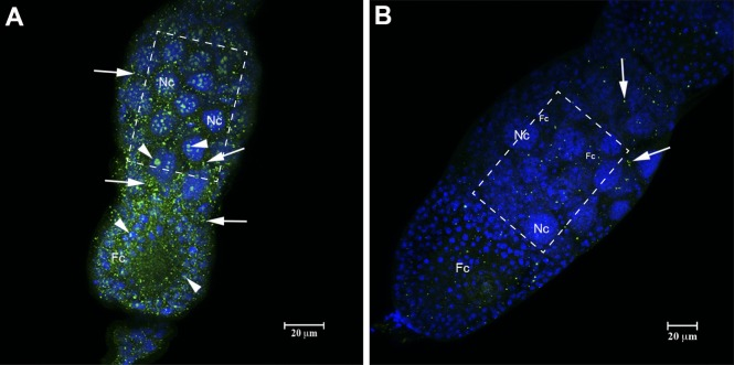 Immunolocalization of HEX 110 in RNase A-treated ovarioles (stage S2) of queenright nurse workers. (A) Control ovariole non-incubated with RNase A. HEX 110 green foci (labeled with anti-HEX 110/Alexa-Fluor 488) are abundant in the nucleus (arrowheads) and cytoplasm (arrows) of nurse (Nc) and follicle (Fc) cells surrounding the oocyte (stage 2, see   Fig 2 ). (B) Ovariole incubated with RNase A shows scarce HEX 110 foci (arrows). DAPI-staining (blue) in B highlights the small nuclei of follicle cells (Fc) that surround the oocyte (stage 1, see   Fig 2 ) and are interspersed between the large nurse cell (Nc) nuclei. Quantification of pixels intensity in the selected areas (dashed rectangles) of the images obtained from RNase A-treated and untreated ovarioles showed lower intensity in RNase A-treated (Mean: 17.29; Min/Max gray values: 0/255; IntDen: 575.51) than in untreated controls (Mean: 29.39; Min/Max: 0/255; IntDen: 978.45).
