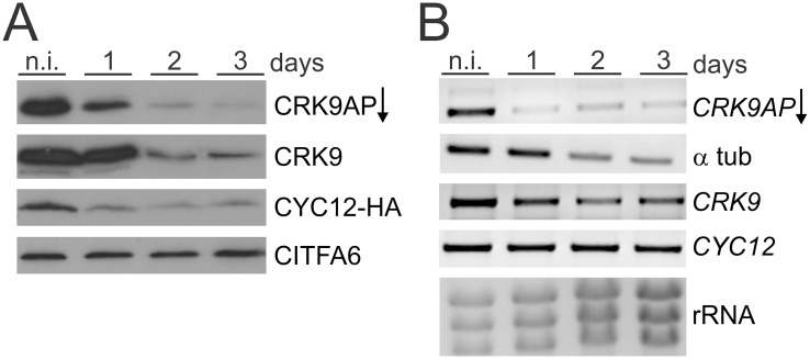 CRK9AP depletion results in rapid co-loss of CRK9 and CYC12. (A) Immunoblot of whole cell lysates derived from non-induced (n.i.) and CRK9AP -silenced PF trypanosomes. The arrow indicates the gene knockdown of CRK9AP . Detection of the class I transcription factor A subunit 6 (CITFA6) served as a loading control. (B) Corresponding semi-quantitative PCR analysis of cDNA that was obtained from the same cells by reverse transcription of total RNA using oligo-dT. Relative RNA amounts were determined by ethidium bromide–stained rRNA.
