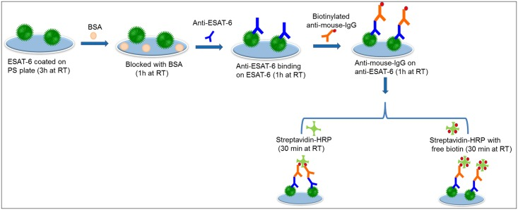 Schematic representation of ESAT-6 detection by the <t>biotin-streptavidin</t> interaction. Complete schematics are displayed. ESAT-6 protein was coated onto the plate followed by anti-ESAT-6 and <t>biotinylated</t> anti-mouse-IgG. Streptavidin-HRP with and without free biotin then was added.