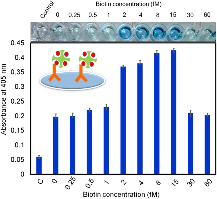 Addition of free biotin improved the interaction between biotinylated antibody and streptavidin-HRP. The 1:500 dilution of biotinylated antibody was detected by streptavidin-HRP mixed with different concentrations of free biotin (0 to 60 fM). Concentrations ranging from 2 to 15 nM of free biotin improved the detection, as indicated by the visible color change of the solution.