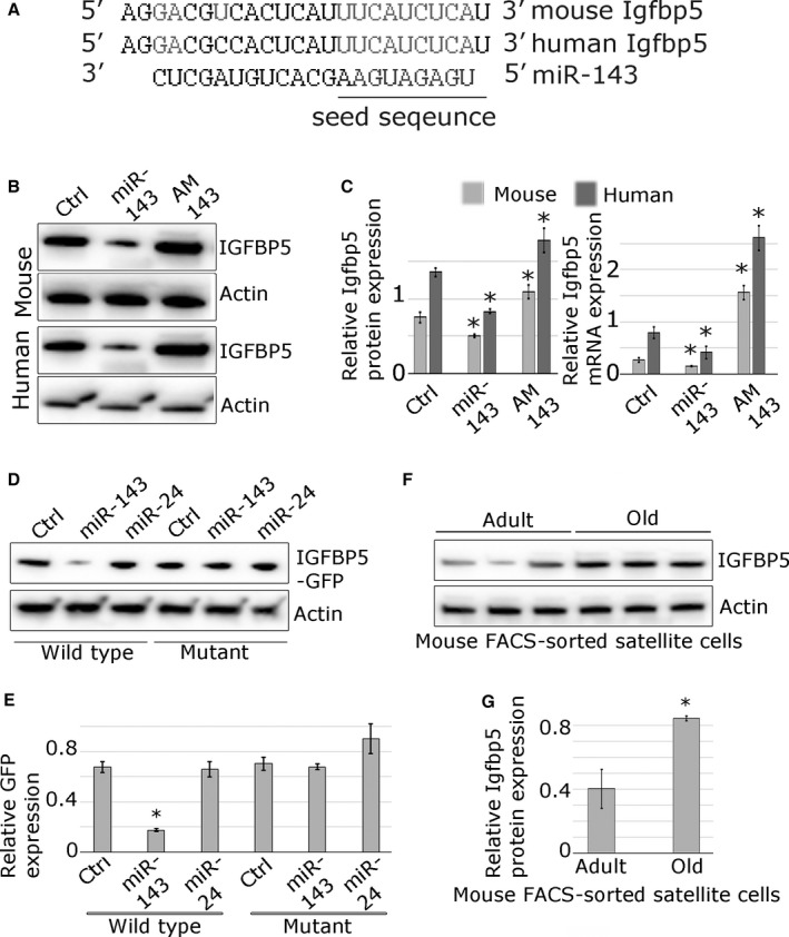 miR‐143 represses Igfbp5 expression in mouse and human primary myoblasts. (A) Alignment of putative miR‐143 target site in the 3′ <t>UTR</t> of Igfbp5 gene; human and mouse sequences are indicated; conserved miR‐143 putative target site is indicated in grey; complementary nucleotides are shown in grey, and miR‐143 seed sequence is highlighted. (B, C) Endogenous Igfbp5 protein and mRNA expression is regulated by miR‐143 in the mouse and human myoblasts, as shown by Western blot or qPCR , respectively. (D, E) GFP ‐Igfbp5 3′ UTR sensor constructs containing conserved mouse wild‐type or mutated miR‐143 target site were transfected into mouse myoblasts. Co‐transfection with miR‐143 mimic (miR‐143), but not miR‐24 mimic (not predicted to target Igfbp5), led to the downregulation of GFP protein expression compared to mock‐transfected control (Ctrl), as shown by Western blot. Point mutations in the micro RNA target site (mutant) rendered the sensor construct unresponsive. (F, G) Western blot showing increased expression of IGFBP 5 protein in FACS ‐sorted satellite cells from the old mice compared with the satellite cells from the adult mice. qPCR data show SEM ; * – P
