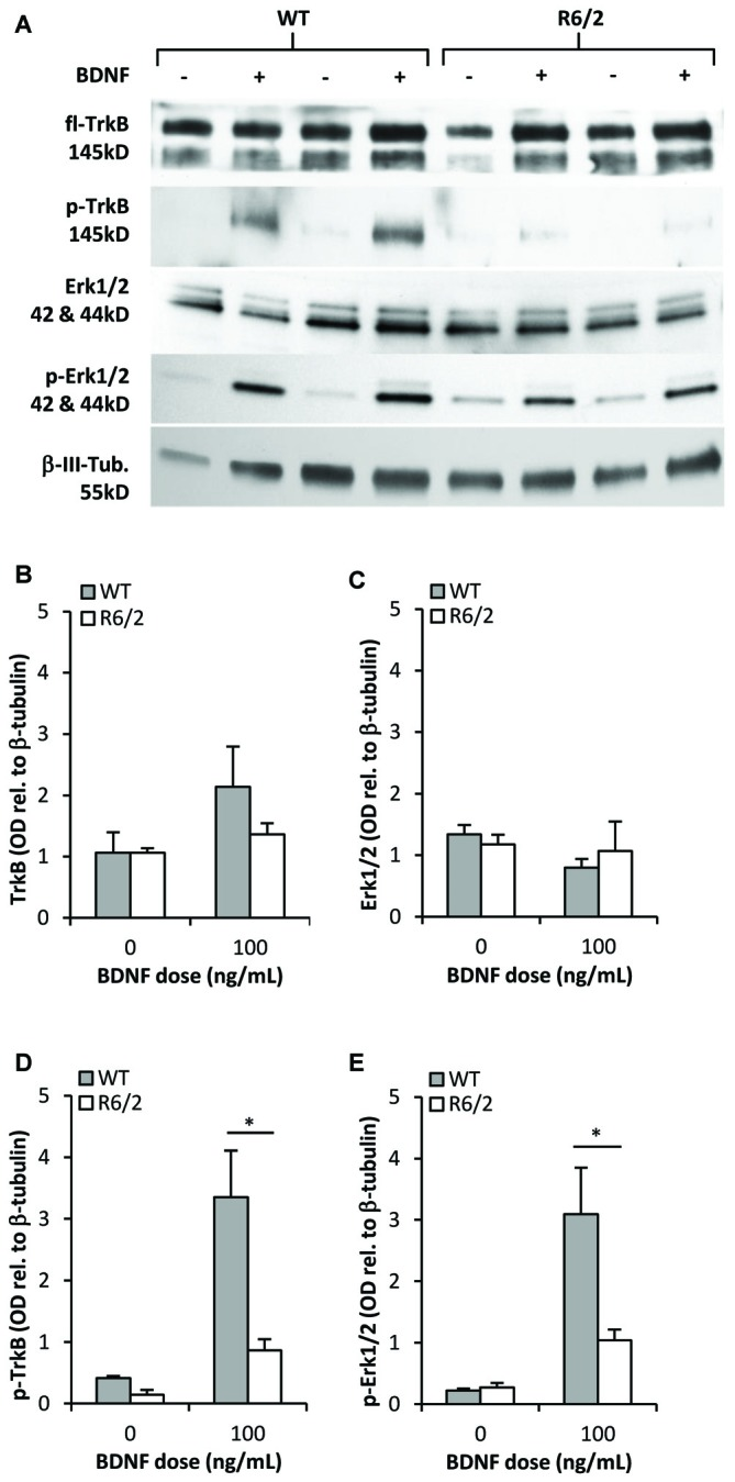 TrkB activation and signal transduction is impaired in R6/2 striatal cultures. (A) Sample immunoblots of TrkB and Erk1/2 signaling proteins from WT and R6/2 cultures after exposure to control (−) or 100 ng/mL BDNF (+) supplemented media. (B) fl-TrkB and (C) Erk1/2 levels are similar in control treated WT ( n = 6) and R6/2 ( n = 5) cultures. BDNF treatment did not change the levels of these proteins. (D) p-TrkB and (E) p-Erk1/2 levels after treatment with saline or BDNF. BDNF treatment increased p-TrkB and p-Erk1/2 levels to a greater extent in WT ( n = 6) compared to R6/2 ( n = 5) cultures. Relative protein levels were determined by normalization to the neuronal specific cytoskeleton protein β-tubulin. Unpaired Student's t -test * p