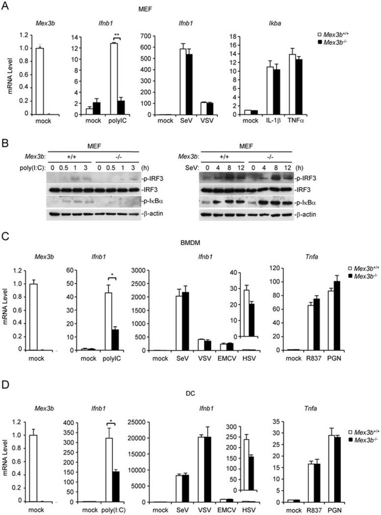 Mex3B is essential for TLR3-mediated signaling in MEFs, BMDMs and DCs. (A) Mex3B deficiency inhibits poly(I:C)-induced transcription of Ifnb1 gene in MEFs. MEFs (2 × 10 5 ) were left untreated, treated with poly(I:C) (20 μg/ml), <t>TNFα</t> (10 ng/ml) or IL-1β (10 ng/ml) for 3 h, or infected with SeV or VSV for 12 h. Total RNA was then extracted for qPCR analysis. (B) Effects of Mex3B deficiency on poly(I:C)-induced phosphorylation of IRF3 and IκBα in MEFs. MEFs (2 × 10 5 ) were left untreated, infected with SeV or treated with poly(I:C) for the indicated times. Cells were lysed and immunoblot was performed with the indicated antibodies. (C , D) Mex3B deficiency inhibits poly(I:C)-induced transcription of Ifnb1 gene in BMDMs (C) and DCs (D) . The cells (2 × 10 5 ) were left untreated, treated with poly(I:C) (20 μg/ml), R837 (20 μg/ml) or PGN (10 μg/ml) for 3 h or infected with SeV, VSV, EMCV or HSV for 12 h before qPCR analysis. Data are represented as mean ± SEM. * P