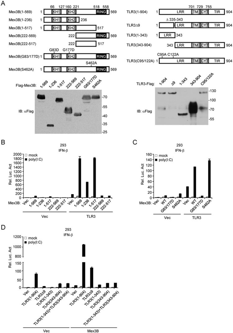 The RNA-binding activity of Mex3B and proteolytic cleavage of <t>TLR3</t> are indispensable for Mex3B to potentiate TLR3-mediated signaling. (A) A schematic presentation and expression of full-length Mex3B, TLR3 and their mutants. (B - D) Effects of Mex3B mutants on TLR3-mediated signaling. The 293 cells (1 × 10 5 ) were transfected with the IFN-β promoter reporter (0.1 μg) and the indicated plasmids (0.1 μg) for 24 h, and then left untreated or treated with poly(I:C) (20 μg/ml) for 6 h before luciferase assays.