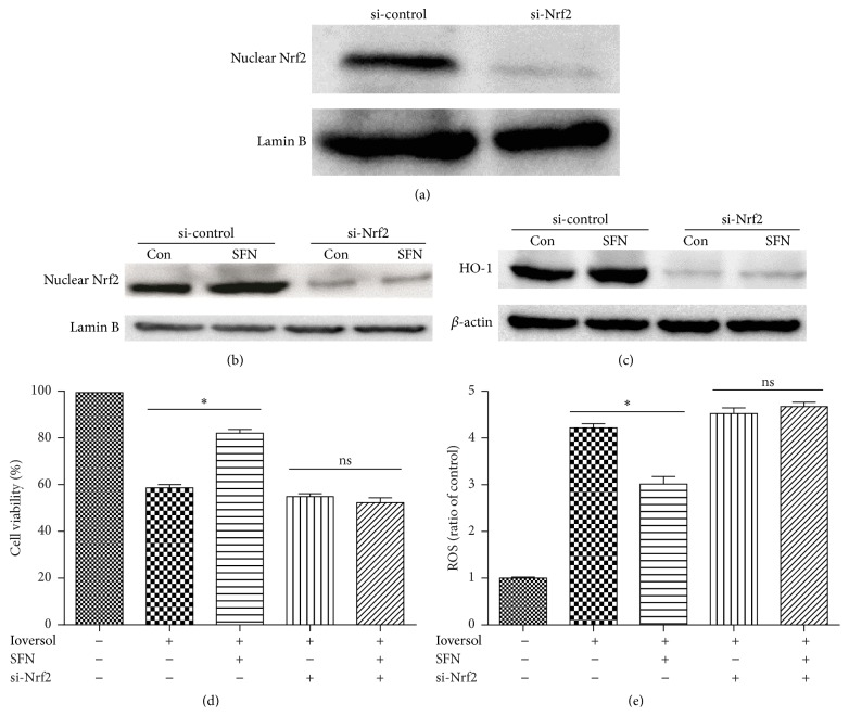 SFN exerts its renoprotective role via the activation of <t>Nrf2</t> in HK2 cells. (a) Cells were treated for 48 h with control or Nrf2 siRNA (the transfection efficiency was measured by western blot analysis). (b) SFN did not increase the Nrf2 nuclear protein level in Nrf2-deficient cells. (c) SFN did not increase the HO-1 protein level in Nrf2-deficient cells. (d) SFN did not increase cell viability in Nrf2-deficient cells. (e) SFN did not decrease reactive oxygen species in Nrf2-deficient cells. ∗ P