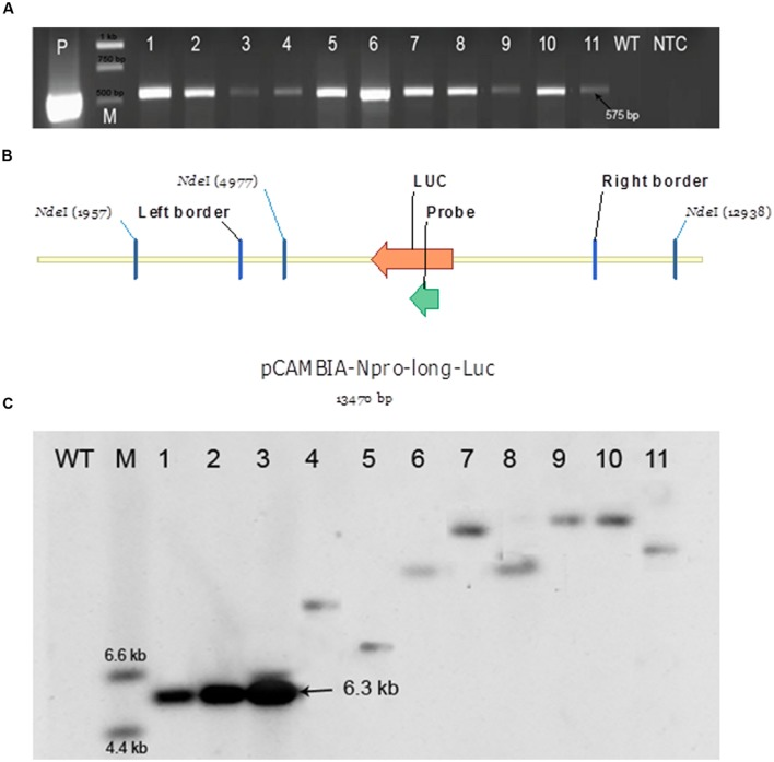 Polymerase chain reaction (PCR) and Southern blot analyses for checking the presence of a transgene. (A) PCR analysis. LucF and LucR primers were used to amplify a 575 bp fragment from the luc region indicating the presence of a transgene. P – a positive control (pCAMBIA:: NLUC plasmid); M – Generuler 1 kb ladder (Thermo Fisher Scientific); 1–6: six independent putative transformants of P. angustifolia; 7–11: five independent putative transformants of P. balsamifera; WT- a negative control (a wild-type plant); NTC – no template control; 575 bp – amplicon size. (B) Southern blot analysis of putative transformants by using a DIG labeled probe complimentary to the luciferase transgene. Design of the 13470 bp long pCAMBIA-Npro-long-Luc vector containing the T-DNA ( Boyko et al., 2011 ). Genomic DNA of putative transformants expressing luciferase and positive for the presence of a 575 bp fragment from the luc region in the PCR assay was digested with the restriction enzyme Nde I which cuts the T-DNA at a single site. The number of fragments for each sample on the blot corresponds to the number of loci carrying the transgene. (C) Picture of Southern blot analysis. WT- A wild-type negative control plant; M – DIG labeled DNA molecular weight marker (Sigma-Aldrich); 1–3: 10, 100, and 250 pg of plasmid, respectively, used as a positive control; 4,5: two independent putative transformants obtained from intermodal explants of P. angustifolia; 6,7: two independent putative transformants obtained from axillary bud explants of P. angustifolia; 8,9: two independent putative transformants obtained from axillary bud explants of P. balsamifera ; 10,11: two independent putative transformants obtained from internodal explants of P. balsamifera .