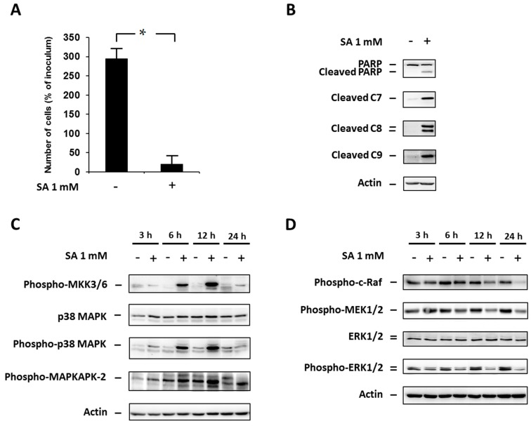 """Effect of 1 mM stearic acid (SA) (see """"Materials and Methods"""") on ( A ) cell growth and viability; ( B ) the level of cleaved PARP, caspase-7 (C7), caspase-8 (C8) and caspase-9 (C9) (markers of apoptosis); ( C ) the level of phospho-MKK3/6, p38 MAPK, phospho-p38 MAPK, phospho-MAPKAPK-2 (p38 MAPK signaling pathway); and ( D ) the level of phospho-c-Raf, phospho-MEK1/2, ERK1/2, phospho-ERK1/2 (the ERK signaling pathway) in NES2Y cells. Cells incubated without SA represented control cells. After 18 h of incubation (see """"Materials and Methods"""") for markers of apoptosis ( B ) and 3, 6, 12 and 24 h of incubation for p38 MAPK and ERK pathways members ( C , D ), the levels of individual proteins were determined using Western blot analysis and the relevant antibodies (see """"Materials and Methods""""). Monoclonal antibody against human actin was used to confirm equal protein loading. The data shown were obtained in one representative experiment from at least three independent experiments. When assessing cell growth and viability ( A ), cells were seeded at a concentration of 2 × 10 4 cells/100 µL of culture medium per well of 96-well plate (see """"Materials and Methods""""). The number of living cells was determined after 48 h of incubation. Each column represents the mean of four separate cultures ± standard error of the mean (SEM). * p"""