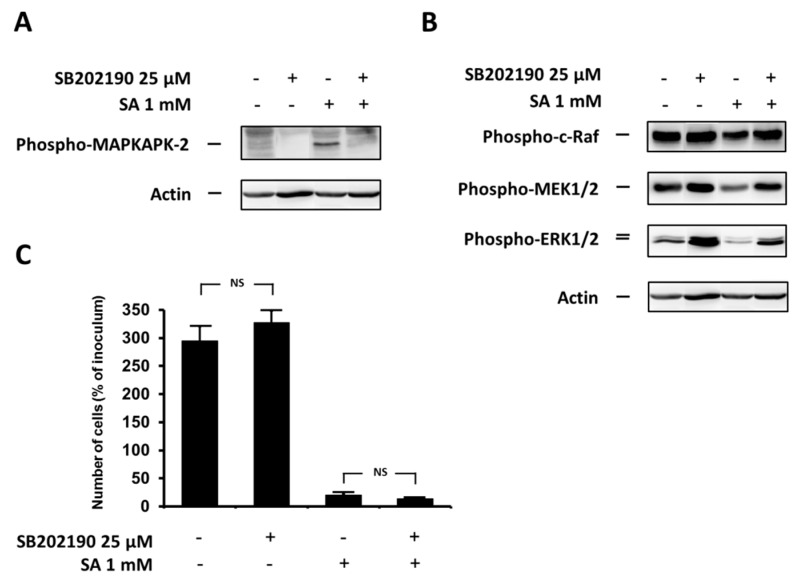 """Effect of the specific p38 MAPK inhibitor, SB202190, (see """"Materials and Methods"""") and the effect of stearic acid (SA) on ( A ) the level of phospho-MAPKAPK-2 (substrate of p38 MAPK); ( B ) the level of phospho-c-Raf, phospho-MEK1/2, phospho-ERK1/2 (the ERK signaling pathway); and ( C ) cell growth and viability of NES2Y cells. Cells incubated without the inhibitor represented control cells. After 12 h of incubation (see """"Materials and Methods"""") ( A , B ), the level of individual proteins was determined using Western blot analysis and the relevant antibodies (see """"Materials and Methods""""). A monoclonal antibody against human actin was used to confirm equal protein loading. The data shown were obtained in one representative experiment from three independent experiments. When assessing cell growth and viability ( C ), cells were seeded at a concentration of 2 × 10 4 cells/100 µL of culture medium per well of 96-well plate (see """"Materials and Methods""""). The number of living cells was determined after 48 h of incubation. Each column represents the mean of four separate cultures ± SEM. NS (non-significant) when comparing the number of control cells and cells treated with SB202190 as well as when comparing the effect of SA alone and applied together with SB202190."""