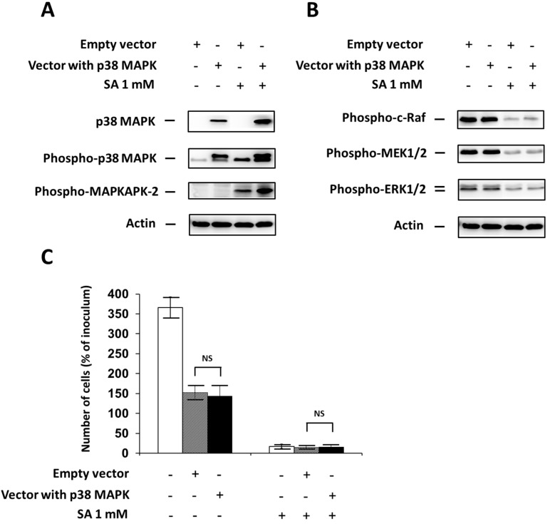 """Effect of p38 MAPK overexpression, using transfection with a specific plasmid (Vector with p38 MAPK) (see """"Materials and Methods"""") and the effect of stearic acid (SA) on ( A ) the level of p38 MAPK, phospho-p38 MAPK and phospho-MAPKAPK-2 (substrate of p38 MAPK); ( B ) the level of phospho-c-Raf, phospho-MEK1/2, phospho-ERK1/2 (the ERK signaling pathway); and ( C ) cell growth and viability of NES2Y cells. Cells transfected with an empty vector (Empty vector) represented control cells. After 18 h of incubation (see """"Materials and Methods"""") with or without stearic acid (SA) ( A , B ), the level of individual proteins was determined using Western blot analysis and the relevant antibodies (see """"Materials and Methods""""). A monoclonal antibody against human actin was used to confirm equal protein loading. The data shown were obtained in one representative experiment from three independent experiments. The fact that the band of p38 MAPK in the control samples is not visible here resulted from a large difference in p38 MAPK content in control and transfected cells. When assessing cell growth and viability ( C ), cells were seeded at a concentration of 2 × 10 4 cells/100 µL of culture medium per well of 96-well plate (see """"Materials and Methods""""). The number of living cells was determined after 48 h of incubation with or without SA. Each column represents the mean of four separate cultures ± SEM. NS (non-significant) when comparing the number of cells incubated with plasmid DNA containing p38 MAPK (Vector with p38 MAPK) and cells incubated with empty plasmid DNA (empty vector)."""