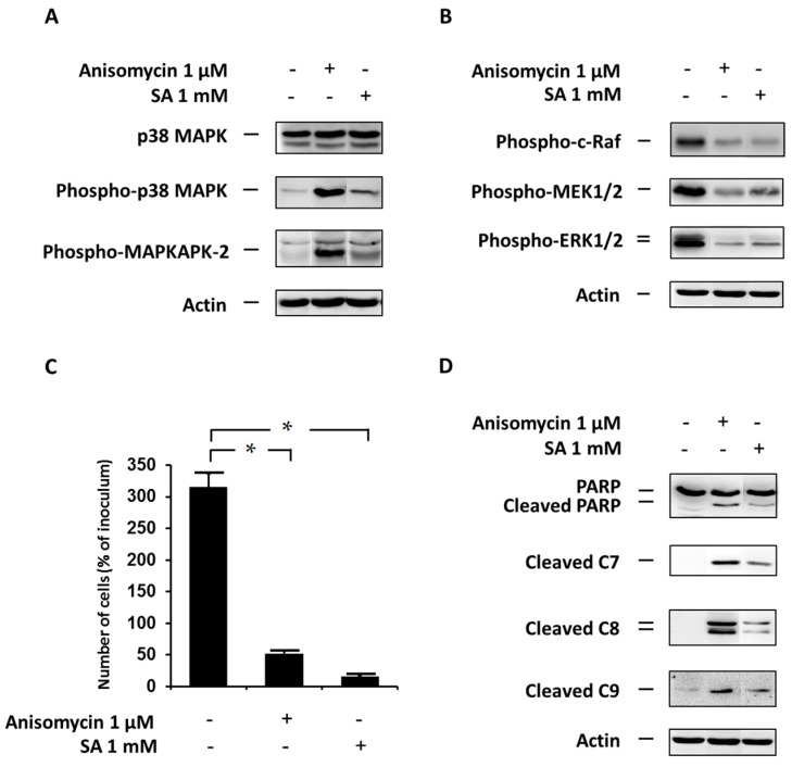 """Effect of the specific p38 MAPK activator, anisomycin, (see """"Materials and Methods"""") and the effect of stearic acid (SA) on ( A ) the level of p38 MAPK, phospho-p38 MAPK and phospho-MAPKAPK-2 (substrate of p38 MAPK); ( B ) the level of phospho-c-Raf, phospho-MEK1/2, phospho-ERK1/2 (the ERK signaling pathway); ( C ) cell growth and viability; and ( D ) cleavage of PARP, caspase-7 (C7), caspase-8 (C8) and caspase-9 (C9) (markers of apoptosis) in NES2Y cells. Cells incubated without the activator and SA represented control cells. After 12 h of incubation (see """"Materials and Methods"""") ( A , B , D ), the level of individual proteins was determined using western blot analysis and the relevant antibodies (see """"Materials and Methods""""). A monoclonal antibody against human actin was used to confirm equal protein loading. The data shown were obtained in one representative experiment from three independent experiments. When assessing cell growth and viability ( C ), cells were seeded at a concentration of 2 × 10 4 cells/100 µL of culture medium per well of 96-well plate (see """"Materials and Methods""""). The number of living cells was determined after 48 h of incubation. Each column represents the mean of four separate cultures ± SEM. * p"""
