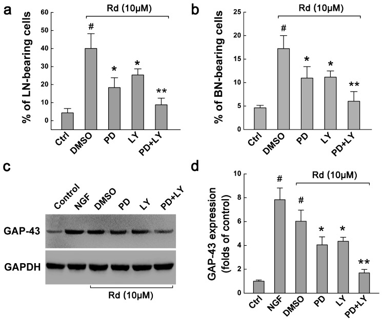 Involvement of ERK and AKT signals in Rd-induced neurite outgrowth. ( a , b ) The effects of ERK inhibitor PD98059 (PD) and AKT inhibitor LY294002 (LY) on the percentages of LN-( a ) and BN-bearing cells ( b ) when PC12 cells were treated with 10 μM Rd at 3 days; ( c , d ) Western blot showed the effects of PD98059 and LY294002 on the expression of GAP-43 in PC12 cells treated with 10 μM Rd at 3 days. GAPDH was used as the internal control. # p