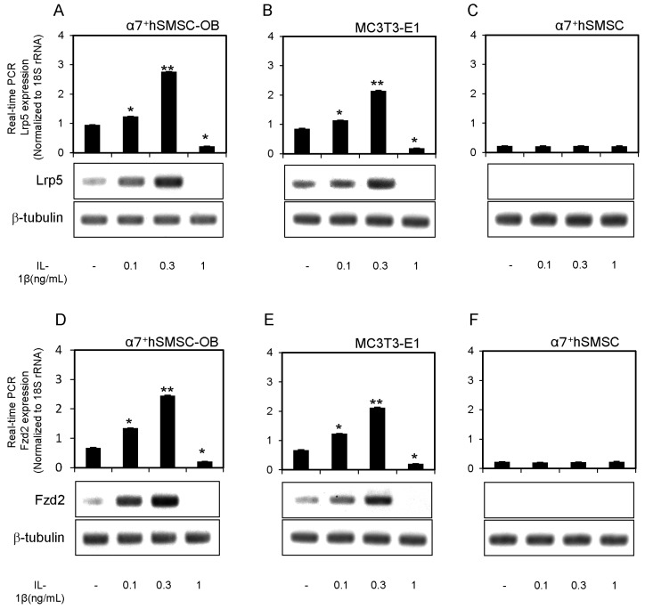 Expression of Lrp5 and <t>Fzd2</t> mRNAs and proteins in α7 + hSMSC-OB cells, MC3T3-E1 cells, and α7 + hSMSCs. ( A – F ) Cells were stimulated with IL-1β (0, 0.1, 0.3 and 1 ng/mL) prior to real-time qPCR analysis of Lrp5 and Fzd2 expression relative to the control (18S rRNA). Data are the mean ± SD of four independent experiments. * p