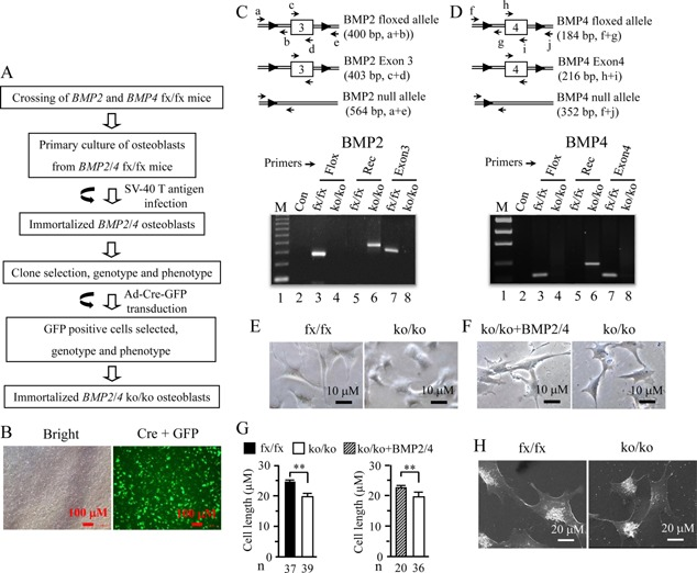 Generation of an immortalized mouse deleted BMP2/4 osteoblast cell line. (A) Strategy for generation of immortalized BMP2/4 ko/ko osteoblasts. (B) The iBMP2/4 fx/fx ob cells were infected with adenovirus carrying Cre recombinase and GFP genes for 14 h. The GFP positive cells were observed under a Nikon inverted fluorescent microscope. (C and D) Genotyping and PCR strategy. Genomic DNAs from the iBMP2/4 fx/fx and iBMP2/4 ko/ko ob cells were isolated and amplified by the BMP2/4 specific primers shown in Table I . (C) primers, a and b, c and d, amplify fragments of 400, 403 bp from iBMP2/4 fx/fx osteoblasts; primers, a and e, amplify fragment of 564 bp from iBMP2/4 ko/ko osteoblasts. (D) primers, f and g, h and i, amplify fragments of 184, 216 bp from iBMP2/4 fx/fx osteoblasts; primers, f and j, amplify fragment of 418 bp from iBMP2/4 ko/ko osteoblasts. The amplified PCR products were run on 1% agarose gels and stained with ethidium bromide. Lane 1, lower molecular DNA marker; lane 2, negative control. Lanes 3 and 4. Genomic DNAs isolated from the iBMP2/4 fx/fx and iBMP2/4 ko/ko ob cells were amplified using the floxed BMP2 and BMP4 primers, respectively. Lanes 5 and 6. Genomic DNAs isolated from the iBMP2/4 fx/fx and iBMP2/4 ko/ko ob cells were amplified using the recombinant BMP2 and BMP4 primers, respectively. Lanes 7 and 8. Genomic DNAs isolated from the iBMP2/4 fx/fx and iBMP2/4 ko/ko ob cells were amplified using the BMP2 exon 3 and BMP4 exon 4 primers, respectively. (E) The iBMP2/4 fx/fx and iBMP2/4 ko/ko ob cells were photographed under a Nikon inverted microscope. (F) The iBmp2/4 ko/ko ob cells were treated with or without BMP2 (100 ng/ml) plus BMP4 (20 ng/ml) for 48 h and cell morphology was observed under the microscope. (G) Cell length of iBMP2/4 fx/fx , iBMP2/4 ko/ko ob cells, and iBMP2/4 ko/ko ob cells treated with BMP2/4 was quantitated. (H) Morphology of the iBMP2/4 fx/fx and iBMP2/4 ko/ko ob cells was observed using scanning electron microscope. Fx. fl