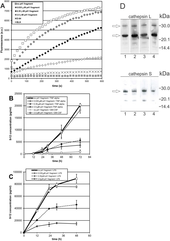 Effect of internalized p41 fragment on the proteolytic activity of cysteine proteases (A) and the secretion of IL-12/p70 (B, C). Samples (A): cell lysates of non-treated immature DC, immature DC after a 6-h incubation with p41 fragment (0.035 μM, 0.35 μM and 3.5 μM) and non-treated immature DC with 10 μM E-64. Fluorogenic substrate in buffer with DTT was used as blank (BLK). Representative measurements, each of three biological repetitions, are shown. Samples (B and C): cell free supernatants (culture media) of immature DC, preincubated with p41 fragment (0.035 μM, 0.35 μM and 3.5 μM) for 6 h prior to their maturation with TNF-α (B) or <t>LPS</t> (C). Non-treated cells (no preincubation with p41 fragment): immature DC, cultured in the presence of <t>GM-CSF</t> for three days (no maturation), DC matured with TNF-α, and DC matured with LPS. Pretreated but non-matured cells: immature DC, pretreated with 3.5 μM p41 fragment, and cultured in the presence of GM-CSF. IL-12 concentrations (in pg/ml) were measured in triplicate, average values ± SD are shown. (D) Immunolabelled cathepsins L and S in DC lysates. Samples (50 μg per well): (1) immature DC, (2) DC pretreated with 3.5 μM p41 fragment for 6 h, no LPS, (3) DC matured with LPS for 24 h, (4) DC pretreated with 3.5 μM p41 fragment for 6 h and matured with LPS for 24 h.