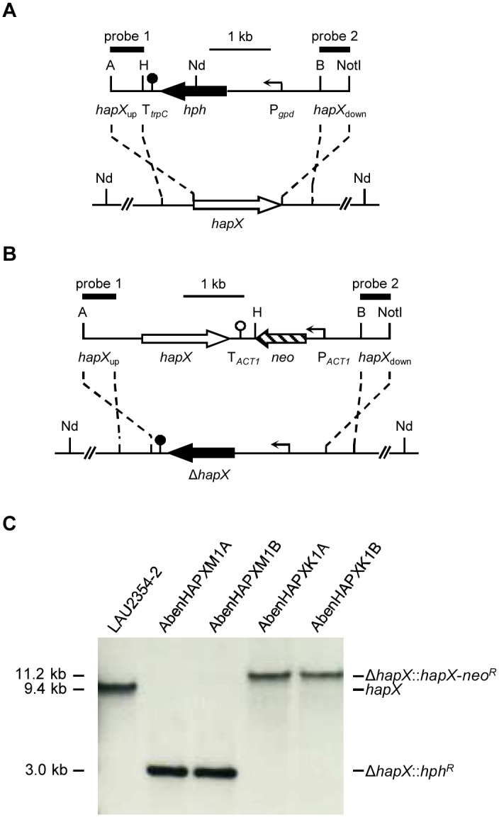 Generation of A . benhamiae Δ hapX mutants and reconstituted strains. (A) For deletion of the hapX locus (white arrow) in the wild-type strain A . benhamiae LAU2354-2 (bottom) a DNA cassette, containing the <t>hygromycin</t> resistance gene hph (black arrow) under control of the gpd promoter (P gpd , bent arrow) together with the termination sequence fragment T trpC (filled circle) flanked by hapX upstream and downstream regions ( hapX up and hapX down , solid lines), was used (top). (B) For reinsertion of the hapX gene into its original locus in the Δ hapX mutants a DNA cassette, containing the coding region of hapX and the neomycin resistance gene neo (lined arrow) under control of the A . benhamiae actin promoter (P ACT1 , bent arrow) together with the Candida albicans actin termination sequence fragment T ACT1 (blank circle) flanked by hapX upstream and downstream regions ( hapX up and hapX down , solid lines), was used. (C) Southern blot of Nde I-digested genomic DNA of the wild-type strain A . benhamiae LAU2354-2, Δ hapX mutants and hapX C reconstituted strains with hapX -specific probe 1. The probes which were used for Southern analysis of the transformants are indicated by the black bars. Only the following relevant restriction sites are given in panels a and b: A, Apa I; B, Bam HI; H, Hin dIII; Nd, Nde I; Not I. The sizes of the hybridizing fragments are given on the left and their identities on the right.