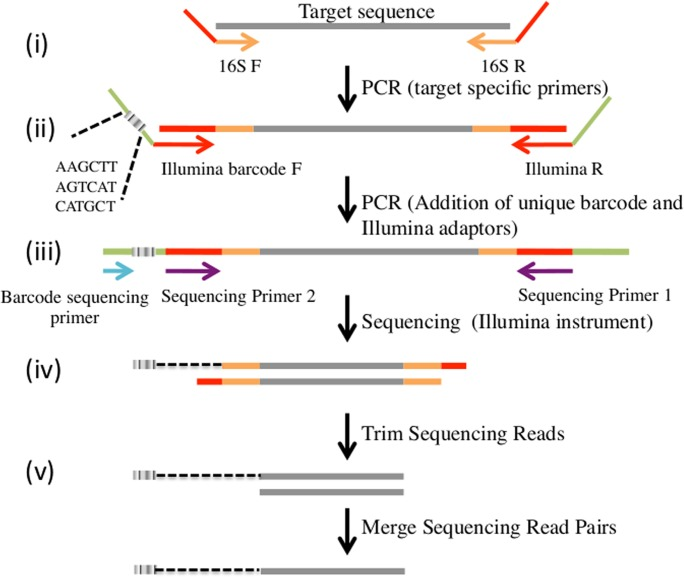Overview of the sequencing assay used to characterize blood meal composition of individual mosquitoes. (i) A first PCR amplification is performed on DNA extracted from each mosquito targeting ~140 bp of the mammalian mt 16S rRNA (gray) using primers modified with a 5'-end tail complementary to the Illumina sequencing primers (red). (ii) A second PCR amplification incorporates the Illumina adaptors and a 6-nucleotide barcode unique to each mosquito at the ends of the individual blood meal PCR products. (iii) After pooling amplification products from 96 samples together, the PCR products are simultaneously sequenced on an Illumina MiSeq to (iv) generate paired-end reads (in grey) and barcode sequences (grey box). (v) Paired-end reads are then merged to provide error-corrected consensus sequence reads. The dotted black line indicates that the 6-nucleotide barcode corresponding to each read is known but is sequenced independently.