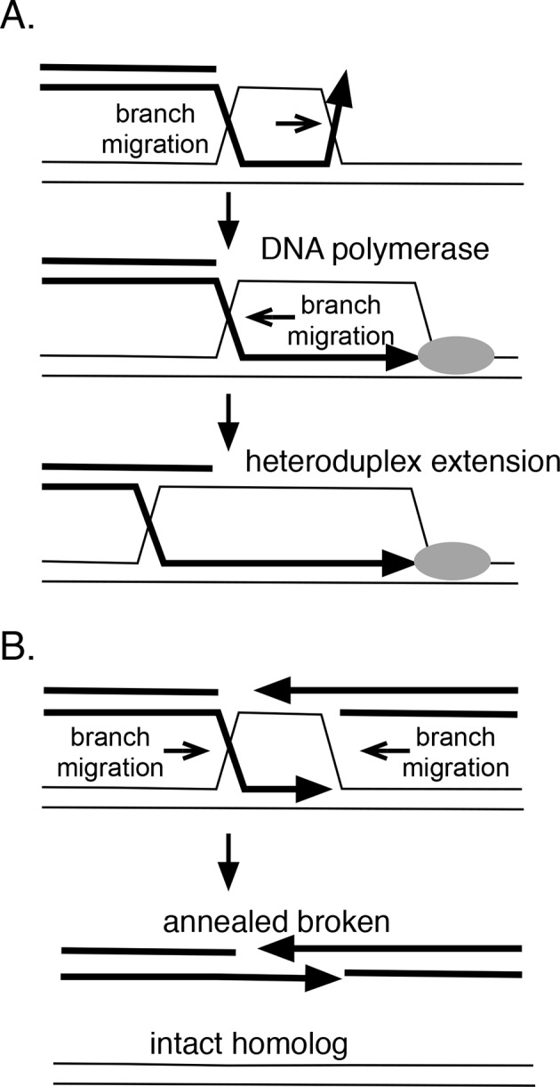 How branch migration assists homologous recombination. ( A ) Heteroduplex extension. In reactions between linear resected DNA and an intact chromosome, initial strand pairing and invasion may occur at a distance from the 3' end. Branch migration of the D-loop (in direction of the arrow) allows the heteroduplex region to extend fully to the 3' end, allowing it to be engaged by DNA polymerases. Branch migration also allows the D-loop to be extended, lengthening and stabilizing the region of heteroduplex and forming a 4-strand Holliday juntion. ( B ) Synthesis-dependent strand annealing (SDSA). After resection of a broken chromosome and strand invasion into a sister molecule, branch migration is required to dissolve the intermediate, allowing broken strands to anneal to one another and the break to be healed. Reactions contained 1 mM ATP and 20.3 µM (nucleotide) φX174 DNA. The values shown are the average of two experiments, except for the circular single-strand value. It is the average of five experiments. Standard deviations are reported. DOI: http://dx.doi.org/10.7554/eLife.10807.021