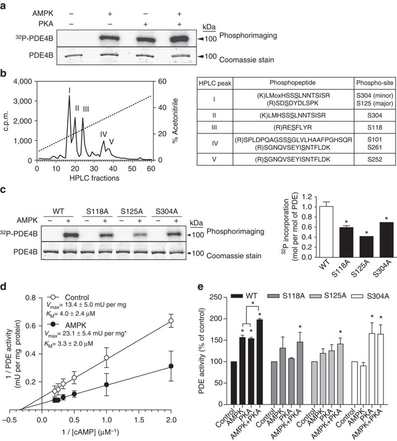 Phosphorylation-induced activation of mouse liver PDE4B. PDE4B was cloned from mouse hepatocyte cDNA. The recombinant protein was overexpressed in E. coli and purified. PDE protein was phosphorylated for 1 h with purified recombinant activated AMPK and/or purified PKA catalytic subunits and [γ- 32 P] ATP, and analysed by SDS–PAGE followed by Coomassie blue staining and phosphorimaging for quantification ( a , c ). In b , PDE was phosphorylated for 1 h with recombinant activated AMPK and [γ- 32 P]. Phosphorylation sites were identified by LC–MS/MS after trypsin digestion and radioactive peak separation by high-performance liquid chromatography (HPLC). The phosphorylation sites that were identified are underlined in the right hand panel. In d and e , recombinant PDE was phosphorylated as above but with non-radioactive ATP for PDE assay as indicated. In d , separate determinations of V max and K M were made by linear regression of double reciprocal (Lineweaver Burk) plots. In e , the basal PDE activities of the wild-type (WT), S118A, S125A and S304A mutant proteins were 1.97±0.25, 0.14±0.01, 1.59±0.15 and 0.32±0.09 mU per mg of protein, respectively. Values are means±s.e.m. for n =3 ( c – e ) separate experiments. Statistical analysis was by a paired Student's t -test. *Indicates a significant difference ( P