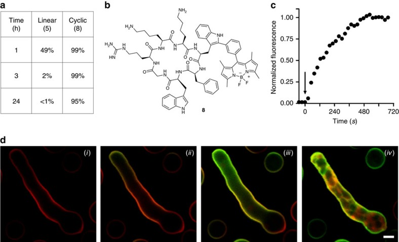 The cyclic peptide 8 is a highly stable fluorogenic agent for high-resolution imaging of A. fumigatus . ( a ) Comparative chemical stability of mono-labelled BODIPY linear ( 5 ) and cyclic ( 8 ) PAF26 analogues in human bronchoalveolar lavage samples from patients with acute respiratory distress syndrome. ( b ) Chemical structure of the cyclic BODIPY-labelled peptide 8 . ( c ) Kinetic analysis (from time-lapse imaging in d of the fluorescence signal of compound 8 (2 μM) in the cell membrane of A. fumigatus (arrow points at the addition time for compound 8 ). ( d ) Time-lapse high-resolution imaging of A. fumigatus upon incubation with a cell membrane counterstain (red) and compound 8 (2 μM, green) for 0 min ( i ), 1 min ( ii ), 3 min ( iii ) and 10 min ( iv ) (see Supplementary Movie 3 ). Scale bar, 2.5 μm.