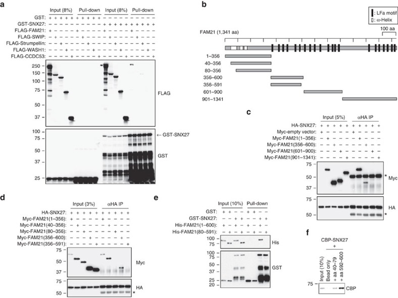 SNX27 interacts directly with FAM21 among the WASH complex components. ( a ) HEK293T cells were transfected with 3 × FLAG-tagged-WASH complex proteins. Lysates were incubated with GST or GST-SNX27 proteins and precipitated with Glutathione Sepharose 4B beads. Precipitates were then immunoblotted as shown. ( b ) Schematic representation of FAM21 constructs used. LFa motifs and α-helices are indicated. ( c , d ) HA-SNX27 was co-transfected with the indicated Myc-tagged constructs in HEK293T cells, and lysates were immunoprecipitated with anti-haemagglutinin (HA) antibodies and immunoblotted. Asterisks (*) denote IgG heavy chains. ( e ) GST or GST-SNX27 fusion proteins were incubated with indicated His-tagged FAM21 proteins and precipitated using Glutathione Sepharose 4B beads. Precipitates were immunoblotted as indicated. ( f ) Biotinylated peptides corresponding to FAM21 residues 40–79 and 592–600 were incubated with CBP-SNX27 and precipitated using streptavidin-conjugated beads. Precipitates were immunoblotted for CBP.